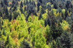 View of forrest of green pine trees on mountainside.  Royalty Free Stock Image