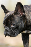 View of a french bulldog Stock Photo