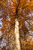 A beech in the autumn stock image