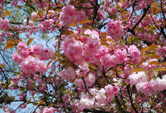 View From Below Of Blooming Tree Close By Royalty Free Stock Images