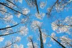 View From Below On The Long Slender Trunks Of The Birch Trees Re Royalty Free Stock Photos