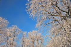 View of frozen top trees on blue sky background Stock Photography