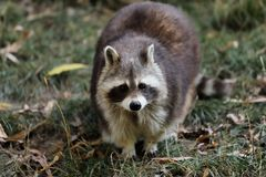 View of full body of male adult common raccoon stock photography