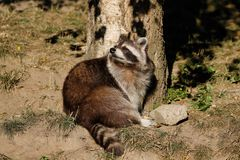 View of full body of sitting adult common raccoon royalty free stock images