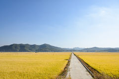 View of full ripen golden rice paddy in autumn Royalty Free Stock Images