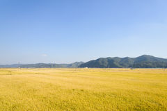 View of full ripen golden rice paddy in autumn Stock Photo
