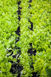 View of garden bed with lettuce Royalty Free Stock Image