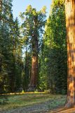 A view of the General Sherman - giant sequoia Sequoiadendron giganteum in the Giant Forest of Sequoia National Park, Tulare Co. A view of the General Sherman Stock Photo