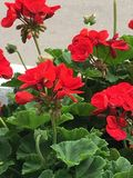 View of geraniums in bloom Royalty Free Stock Images