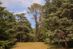 View of ghost pine Royalty Free Stock Image