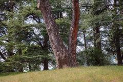 View of ghost pine Royalty Free Stock Images