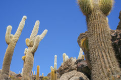 A view of the giant cactus in Salar de Uyuni, Boliwia landscape Stock Images