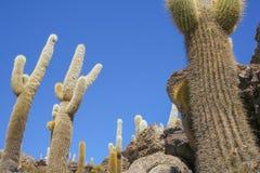 A view of the giant cactus in Salar de Uyuni, Boliwia landscape. A view of the giant cactus in Salar de Uyuni, Boliwia outback landscape Stock Images