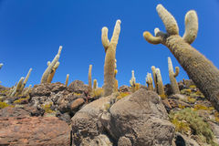A view of the giant cactus in Salar de Uyuni, Boliwia landscape Royalty Free Stock Images