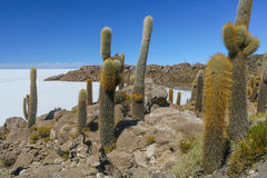 A view of the giant cactus in Salar de Uyuni, Boliwia landscape Stock Photo