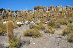 A view of the giant cactus in Salar de Uyuni, Boliwia landscape royalty free stock photo