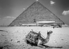View of the Giza Pyramids, the tourists near them and the camel in the foreground. Stock Photos