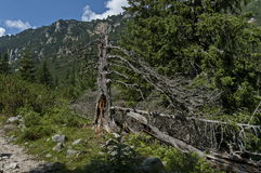 View of glade, grass and broken trunk on the ecological walk toward Maliovitza peak in Rila   mountain. View of glade, grass and broken trunk on the ecological Stock Photo