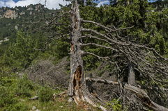 View of glade, grass and broken trunk on the ecological walk toward Maliovitza peak in Rila   mountain. View of glade, grass and broken trunk on the ecological Royalty Free Stock Photo