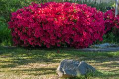 Glorious Red Azalea. A view of a glorious red Azalea bush in full bloom stock photos