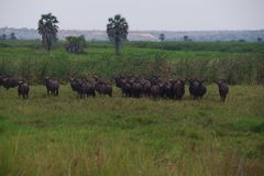 View of Gnus in Kissama Park, Bengo royalty free stock image