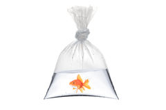 A view of a golden fish in a bag Stock Image