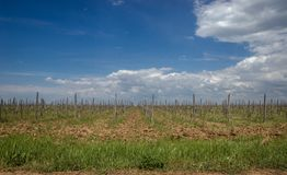 View of grape fields Royalty Free Stock Image