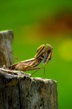 View Grasshoppers Boxing Stock Photos