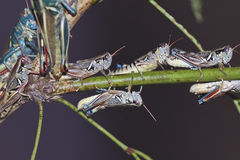 A View of Grasshoppers on a Branch Stock Image