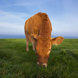 View of grazing cow. In Normandy, France Royalty Free Stock Photos
