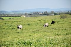 View of grazing cows Royalty Free Stock Photo