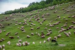 Grazing sheep eating grass. View of grazing sheep eating grass on a slope of hill royalty free stock image