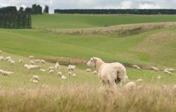 View of grazing sheep on a meadow, New Zealand royalty free stock photography