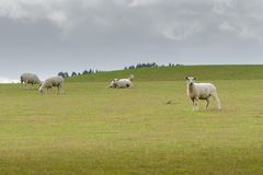 View of grazing sheep on a meadow, New Zealand stock photos