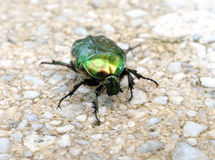 View of the green beetle on the sidewalk Royalty Free Stock Photo