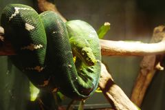 View of a Green boa royalty free stock image