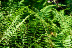 View on green Fern leaves under sunlight in the woods. Stock Images