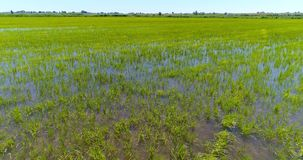 View of green fields with rice cultivation. Observing view in motion with lush green vegetation of rice cultivation on endless fields in sunlight stock video