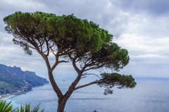 View of green Italian Stone Pine Tree with beautiful blue ocean Royalty Free Stock Images