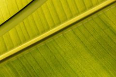 View of a green leaf of a banana palm tree in the sun royalty free stock photography