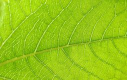 Leaf texture Royalty Free Stock Photography