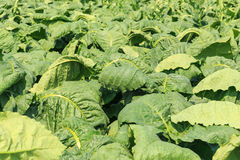 View green leaf of  tobacco plant in field Stock Photos