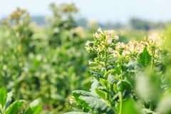 View green leaf of  tobacco plant in field Stock Photography
