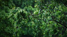 View of the green leaves of the trees in the rain. Slow motion shot of the green leaves of the trees in the rain stock footage