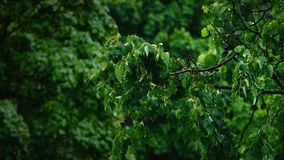 View of the green leaves of the trees in the rain. Slow motion shot of the green leaves of the trees in the rain stock video footage