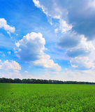 View of green lucerne field Royalty Free Stock Photography