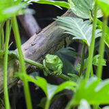 View of Green monkey frog. In forest royalty free stock image