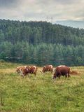 Cows grazing sad Stock Photography
