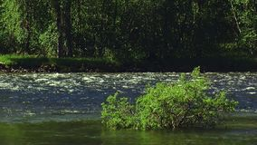 View of green shrub in middle of flowing river. Summer sunny day. Nobody. Nature. Landscape. Water stock video footage