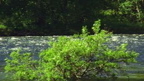 View of green shrub in water of flowing river. Summer sunny day. Nobody. Nature. Landscape. Trees. Camera moves right stock video